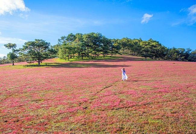 Pink Grass In Da Lat